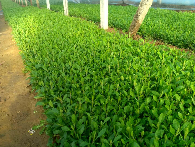 黄冈马兰哪里有种植的 青州市恒景花卉苗木专业合作社