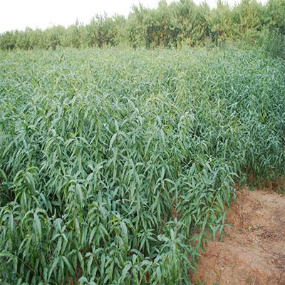 桃小苗4公分适合北方地域地区种植
