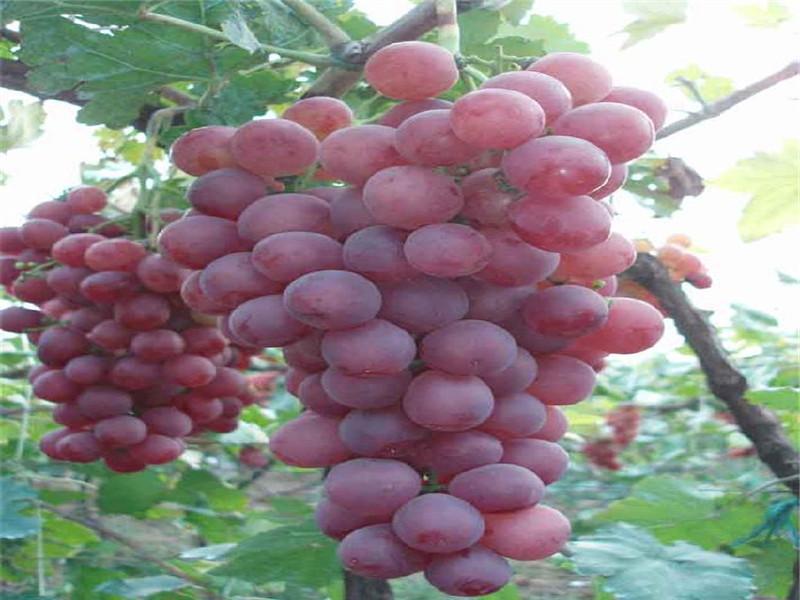 广西百色附近什么地方有葡萄苗