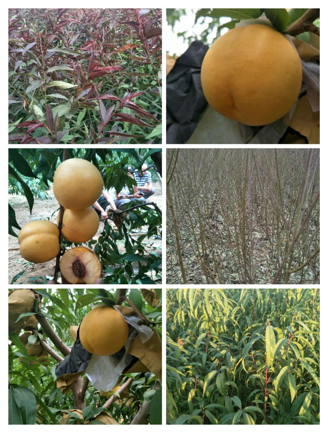 乌海冬桃树苗哪里有卖多少钱一棵_诚运发苗木种植