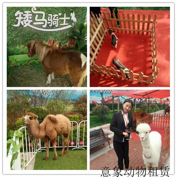 朝阳市萌宠展羊驼出租企鹅展览