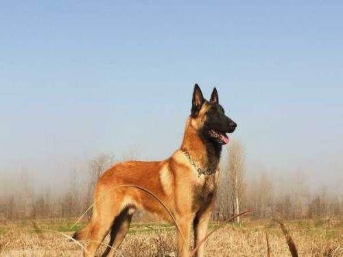 武进区白色德国牧羊犬专卖,幼犬出售多少钱