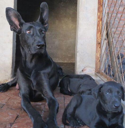 八步区大型养狗场全国包托运