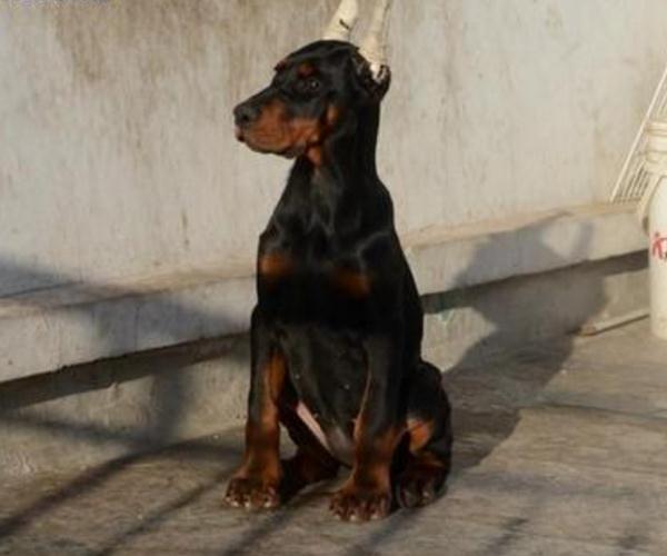 天台罗威纳养狗场幼犬出售
