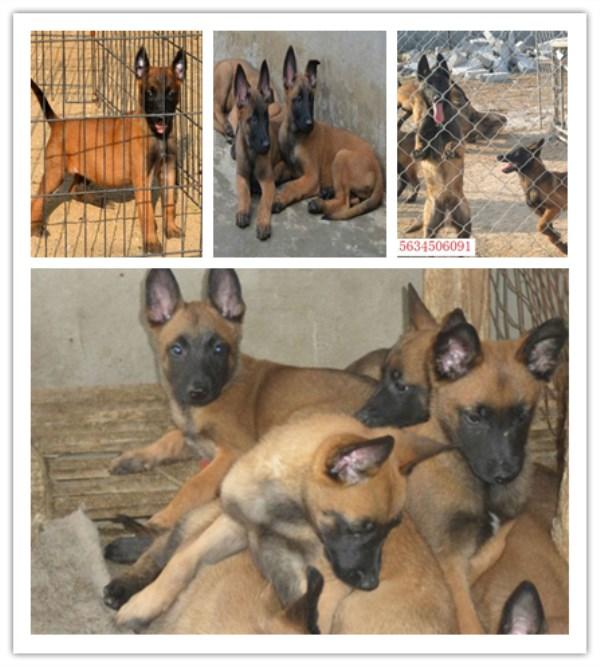 铜官山区正规养狗厂联系电话支持货到付款