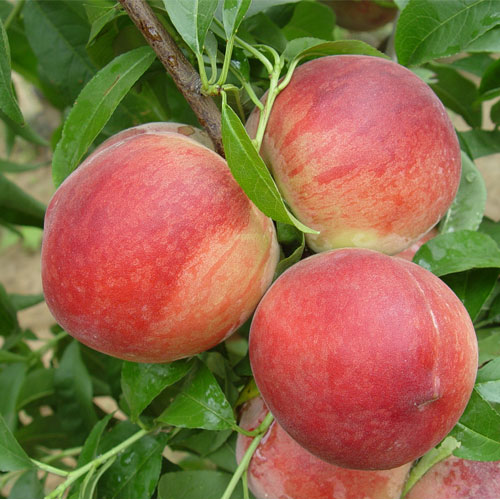 6公分中油四号桃树苗那时候候即可挂果,检验品种