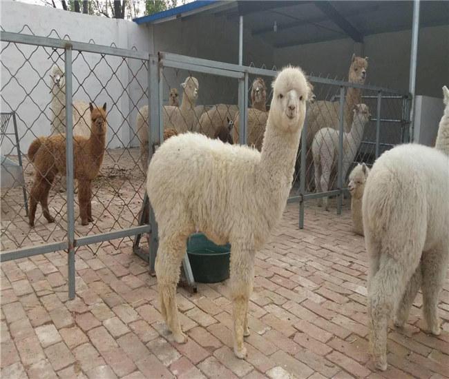 """大连出售""""神兽""""羊驼成年羊驼欢迎来场选购"""