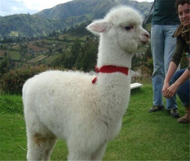 安龙羊驼养殖基地羊驼养殖场欢迎来电咨询