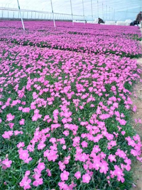 浙江台州微型月季营养钵苗