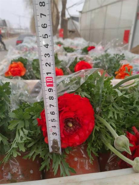 湖北荆州常春藤冠幅好的苗