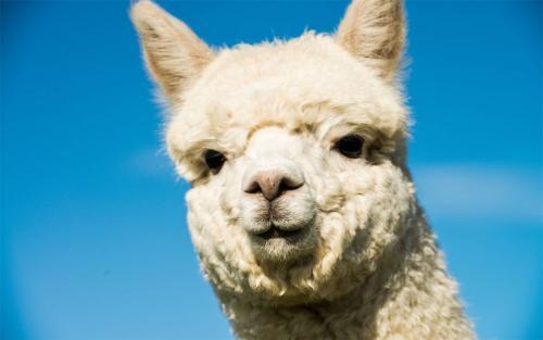 """乌兰察布出售""""神兽""""羊驼成年羊驼量大送货到家"""
