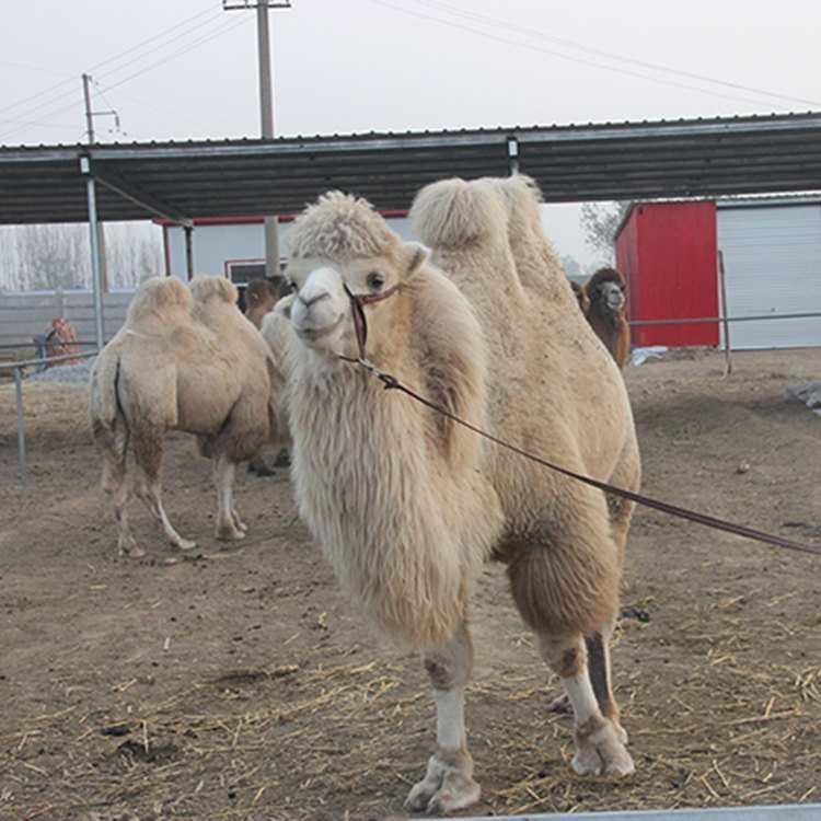景区观赏骆驼价格量大优惠