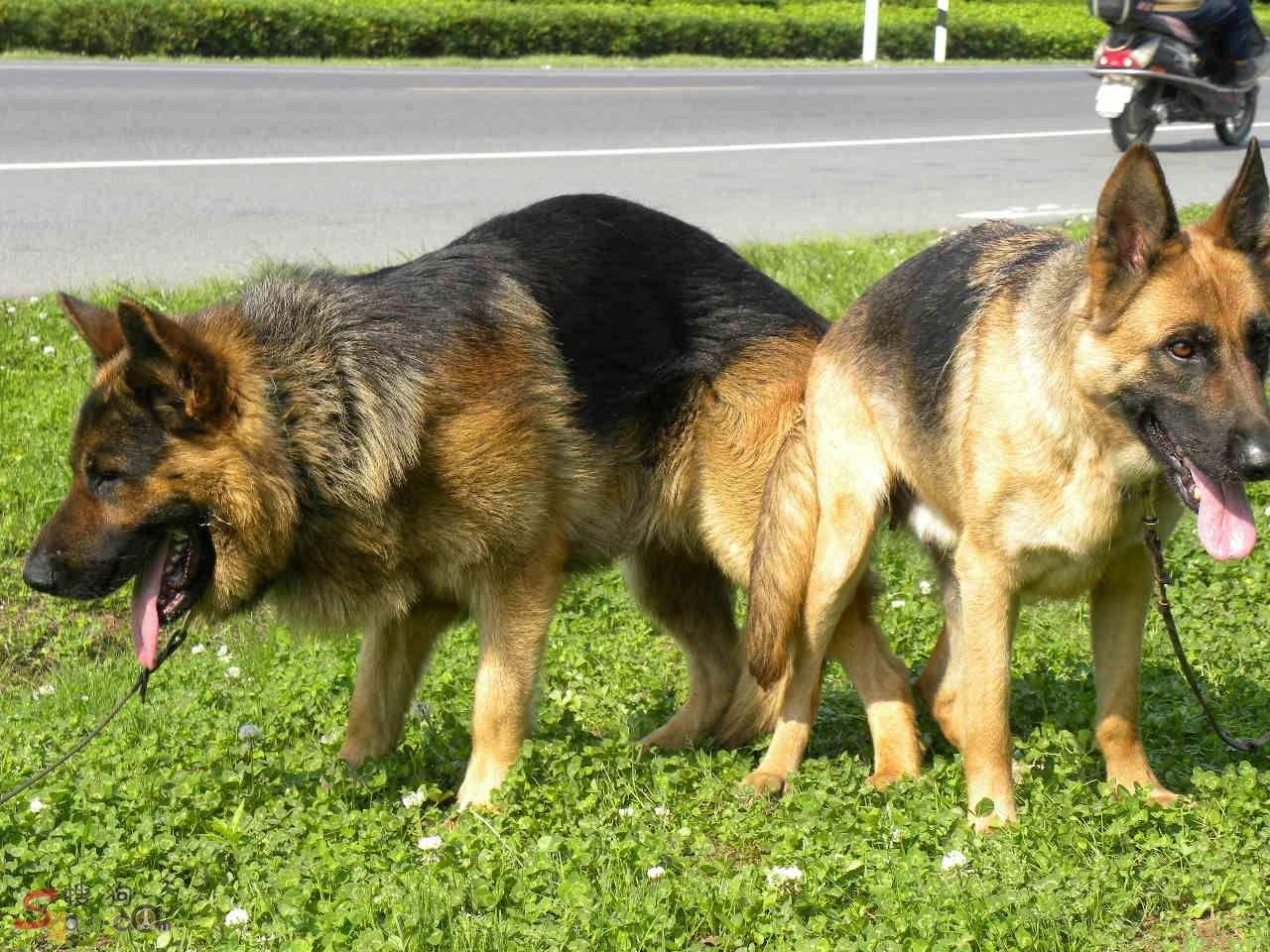 济阳县德国牧羊犬养殖场,幼犬出售纯种健康