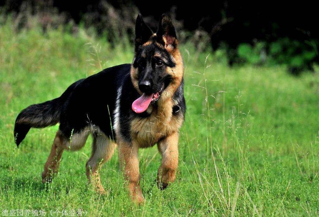 永和县德国牧羊犬养殖场,幼犬出售价格