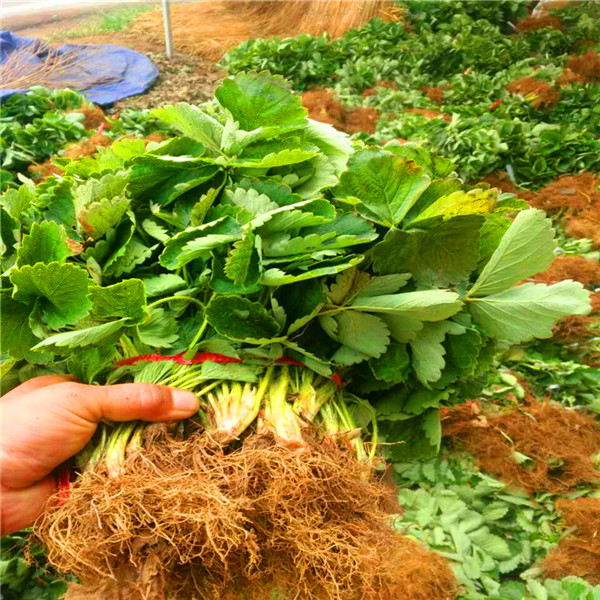 营口草莓苗品种批发价格