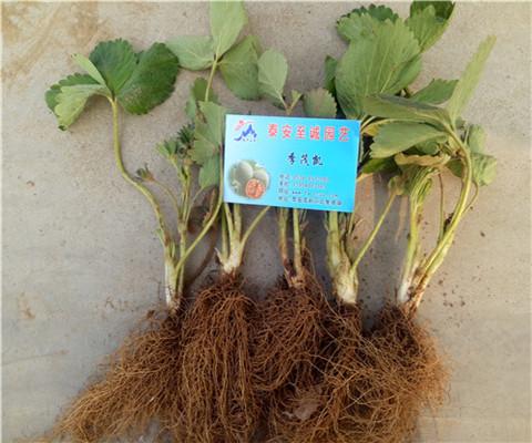 妙香草莓苗价格及基地、重庆妙香草莓苗价格报表