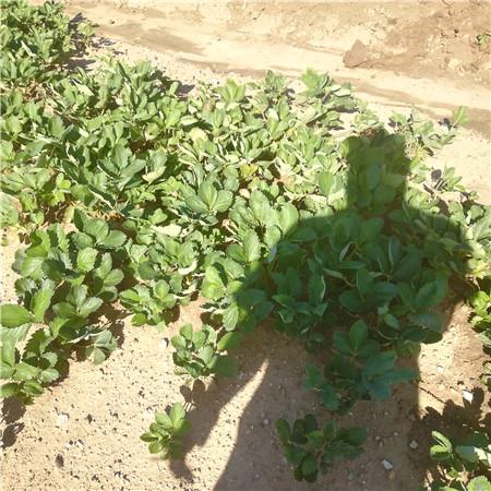 天津草莓苗什么温度比