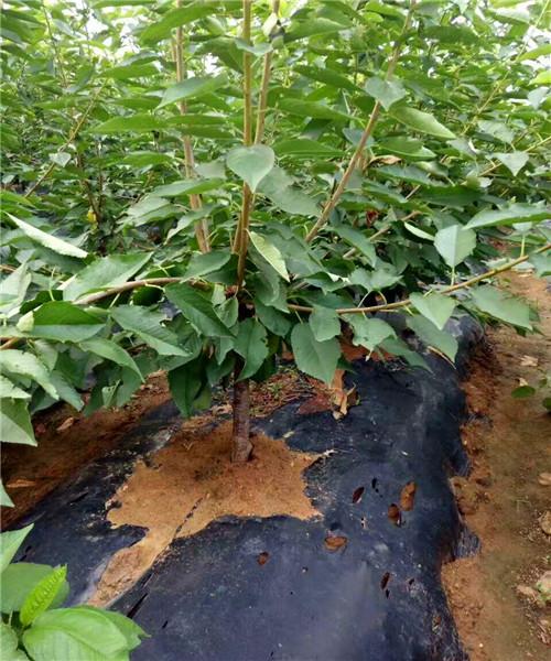 新疆桑提娜樱桃苗是是多少钱一棵