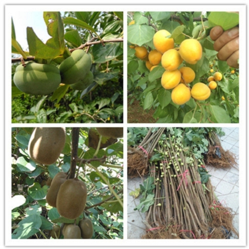 吉林柿子树苗贩卖,吉林柿子树苗销售价格