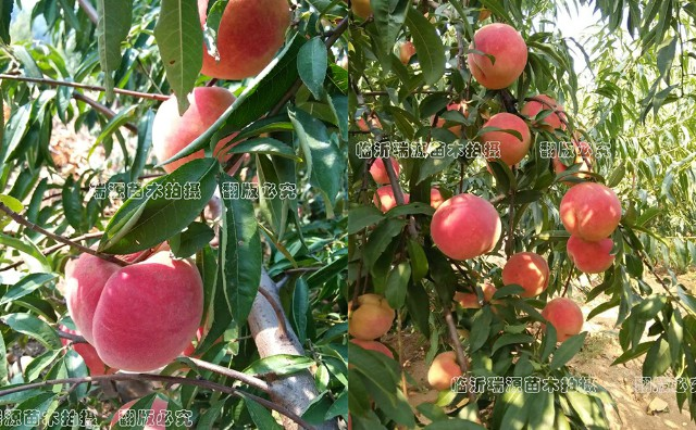 可鲜吃黄桃品种介绍_品种介绍_桃树苗批发