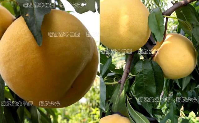 金华桃树苖晚熟品种价格_哪里有出售_桃树苗价格优惠