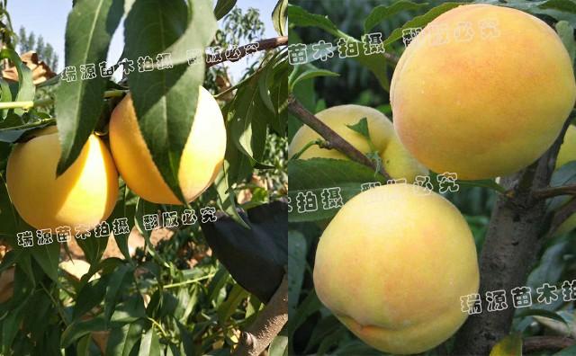 6月下旬成熟的黄桃品种介绍_桃树苗图片