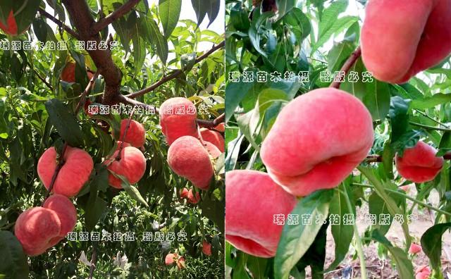 上海农科院黄桃品种有哪些_桃树苗介绍