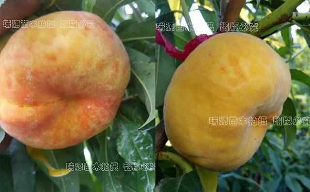 適合西北種植的桃樹品種 新品桃樹苗價格