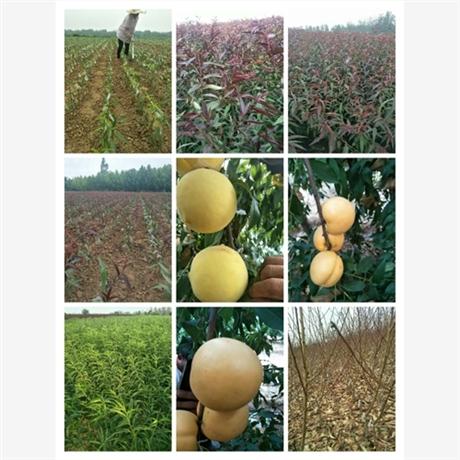 张家口油桃新品种_哪家品种好_选诚运发_诚运发苗木种植