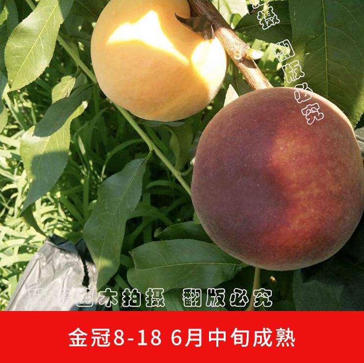 镇江安徽六安油桃苗基地_利润大_桃树苗新品种