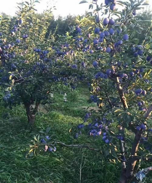 新余大红袍李子树苗致富种植品种