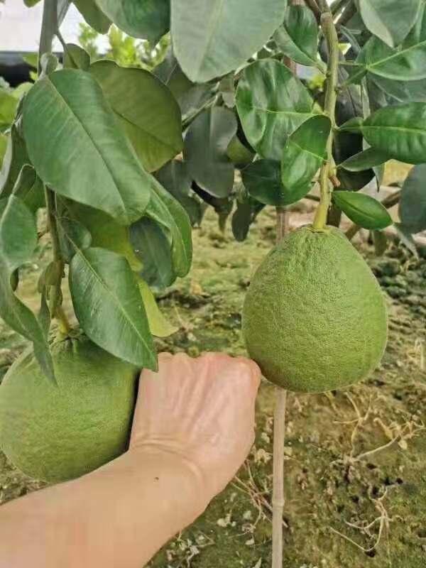 红宝石青柚苗漳州基地