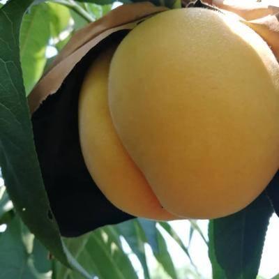 中桃金魁桃苗哪里正宗,中桃金魁桃苗几年结果