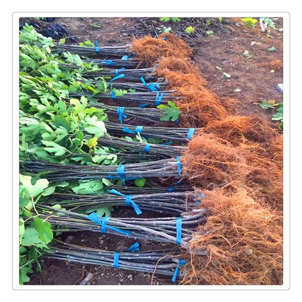 润多汁的淫穴_其余部分土外,填上压实,浇水保持土壤湿润,约1个月左右生根,培育1年
