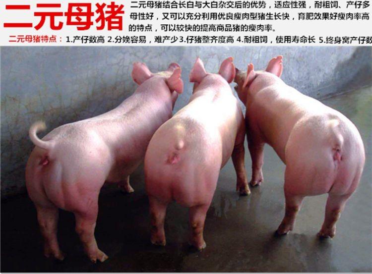母猪价格:肇庆市原种二元母猪什么价格