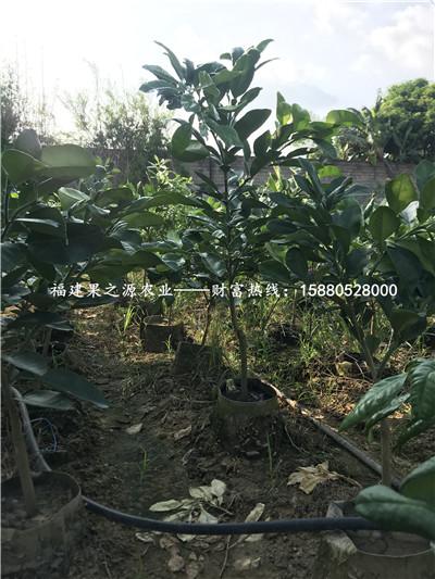 赣州泰国红宝石青柚苗价格