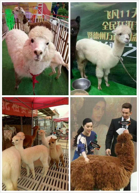 安庆哪有出租羊驼的萌宠展览