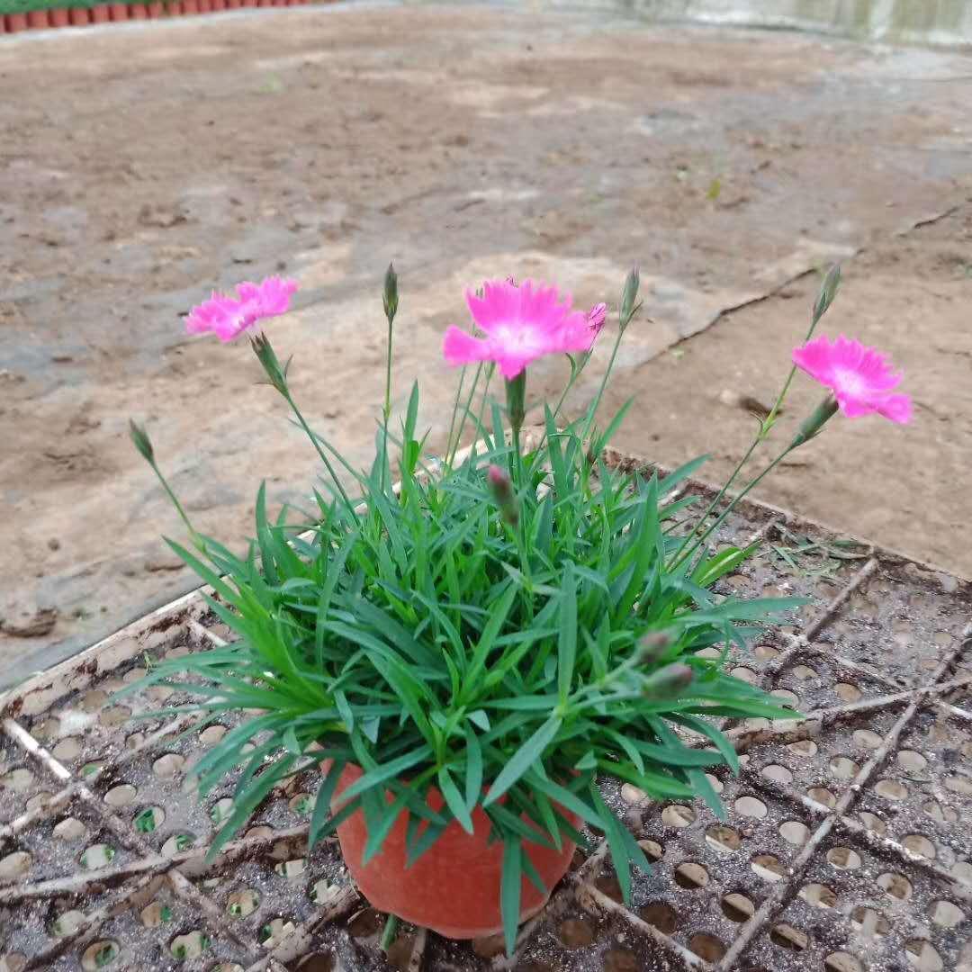 盘锦市优质紫露草价格美丽