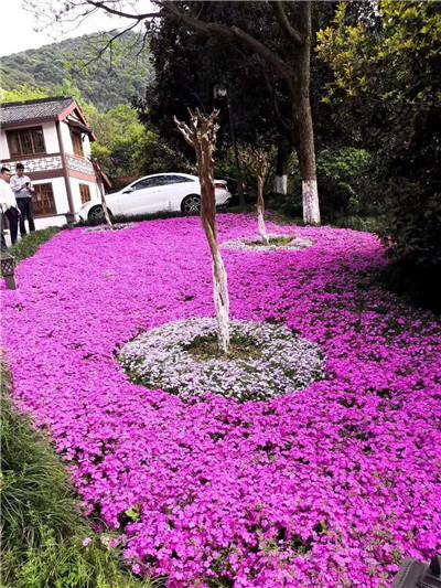 黄石市精品紫花玉簪需要联系