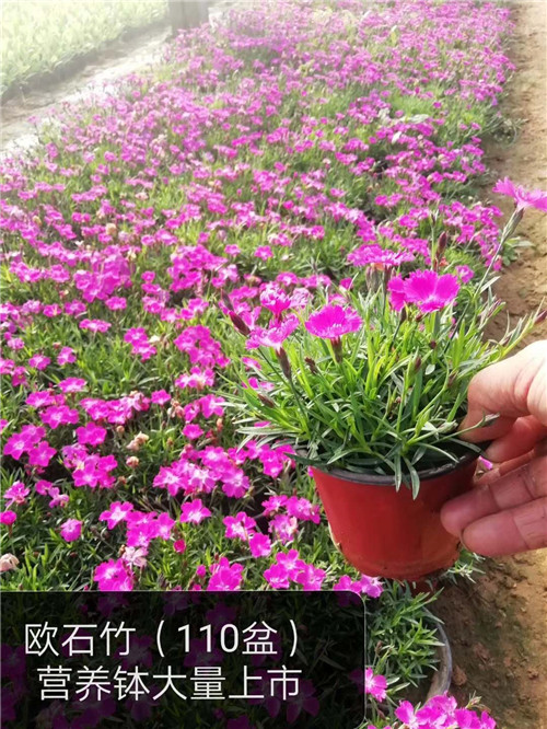 呼伦贝尔市精品红花醡浆草需要联系