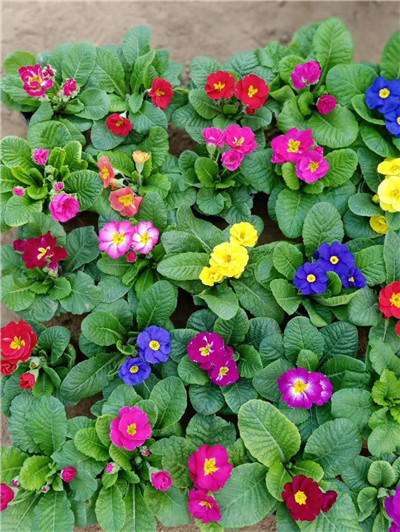雅安市精品红花醡浆草质优价廉
