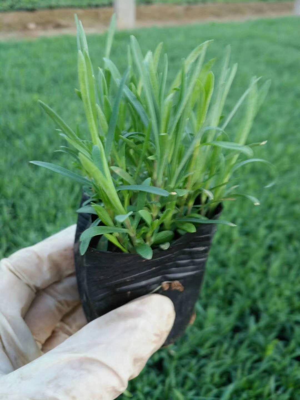 铜川市优质玉带草联系方式