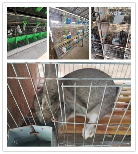 松原市比利时种兔养殖场肉兔
