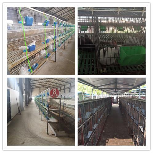 广东翁源市哪里有卖种兔的