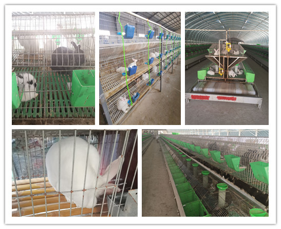 广东省恩平市当地卖肉兔种兔的养殖场