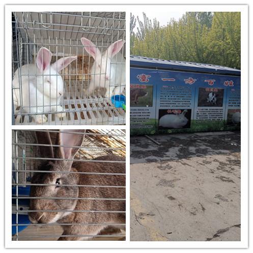 密山市附近哪里有卖獭兔种兔养殖基地
