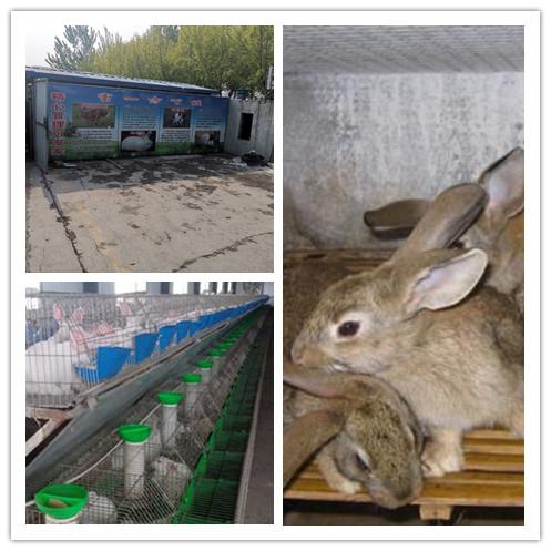 松潘縣哪里有利時種兔肉兔的