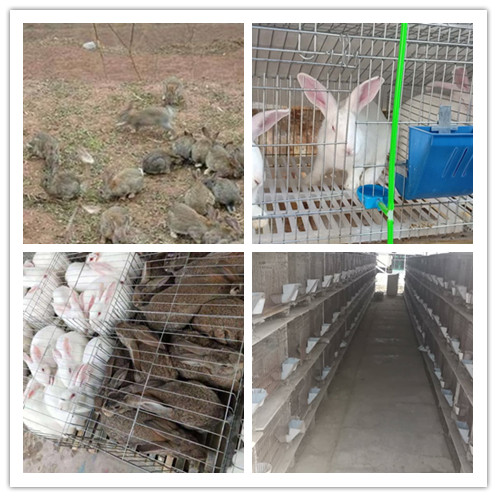 福州市哪里有卖比利时种兔肉兔的