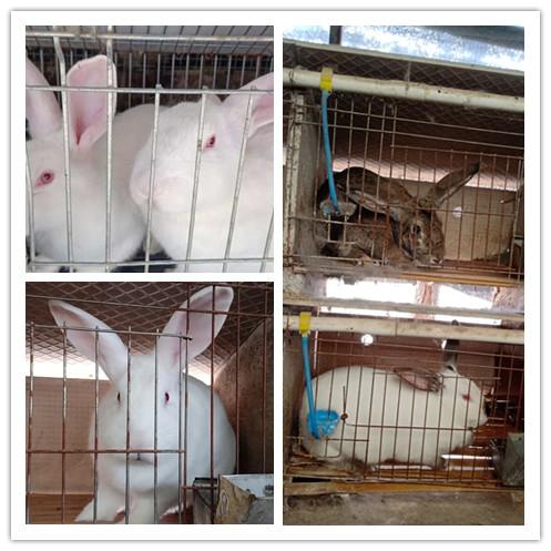兖州市有没有卖比利时肉兔的
