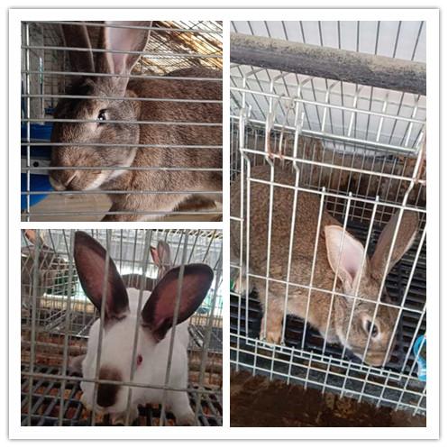 盘锦有没有卖种兔的